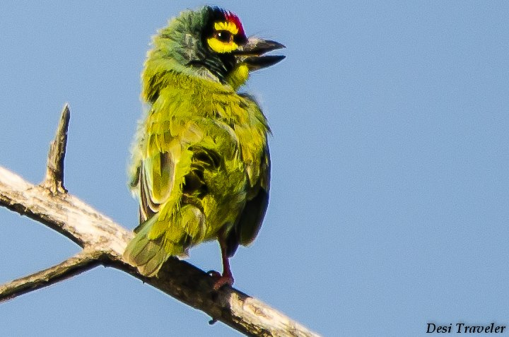 Coppersmith Barbet Sultanpur Bird Sanctuary