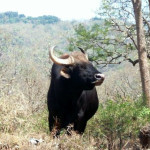 Wild Elephants & Bisons – The Gentle Giants Of Mudumalai National Park