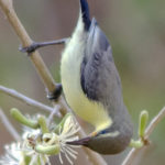 Purple Sunbird is not Hummingbird