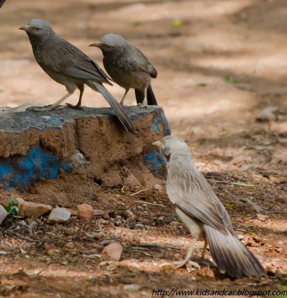 Jungle Babblers Mrugavani National Park