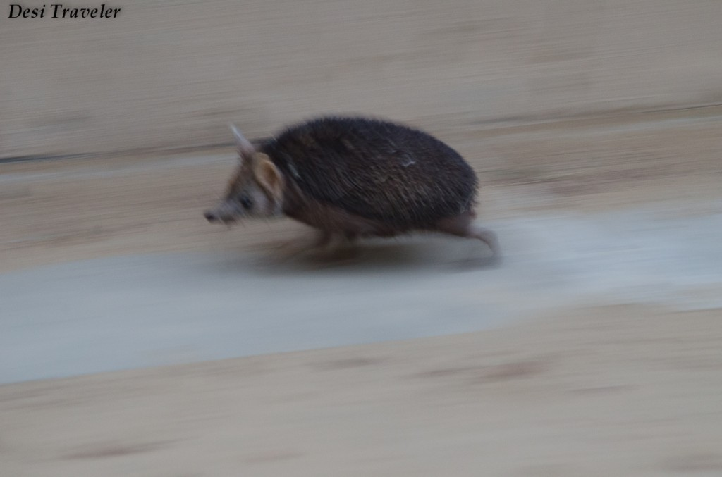 Hedgehog+of+Tal+Chapar+(1) wildlife sanctuary running away