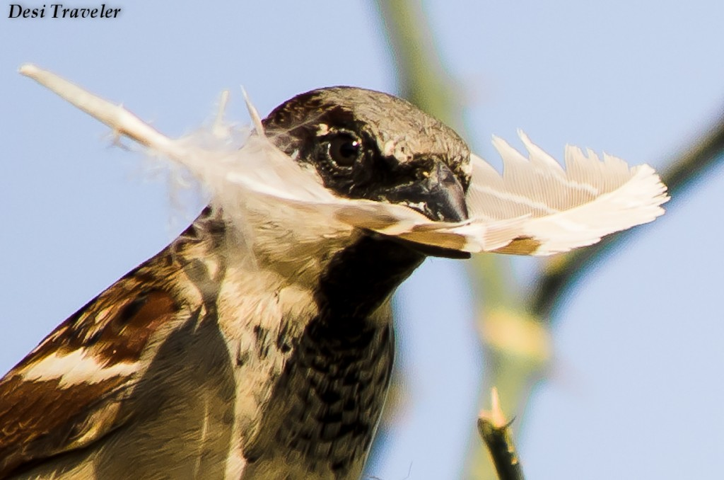 Portrait of A Sparrow with nesting material