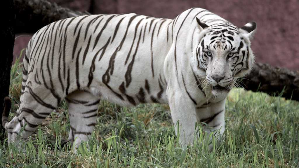 White Tiger Hyderabad Zoo