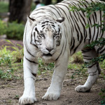 The Royal White Tigers of Hyderabad Zoo