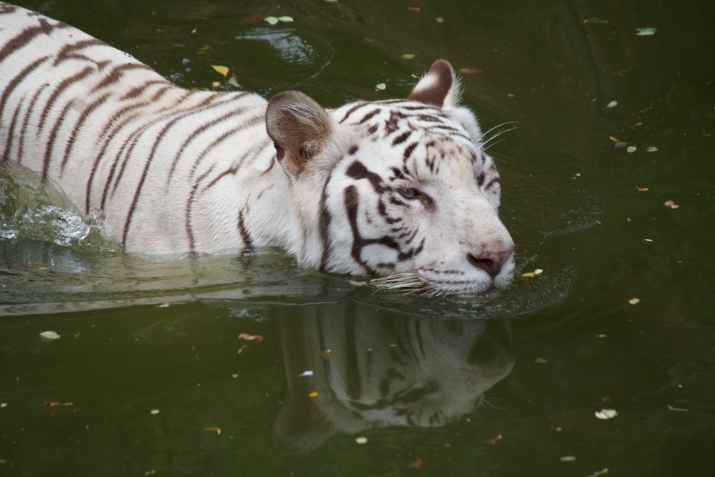 White Tiger Swimming in Hyderabad Zoo