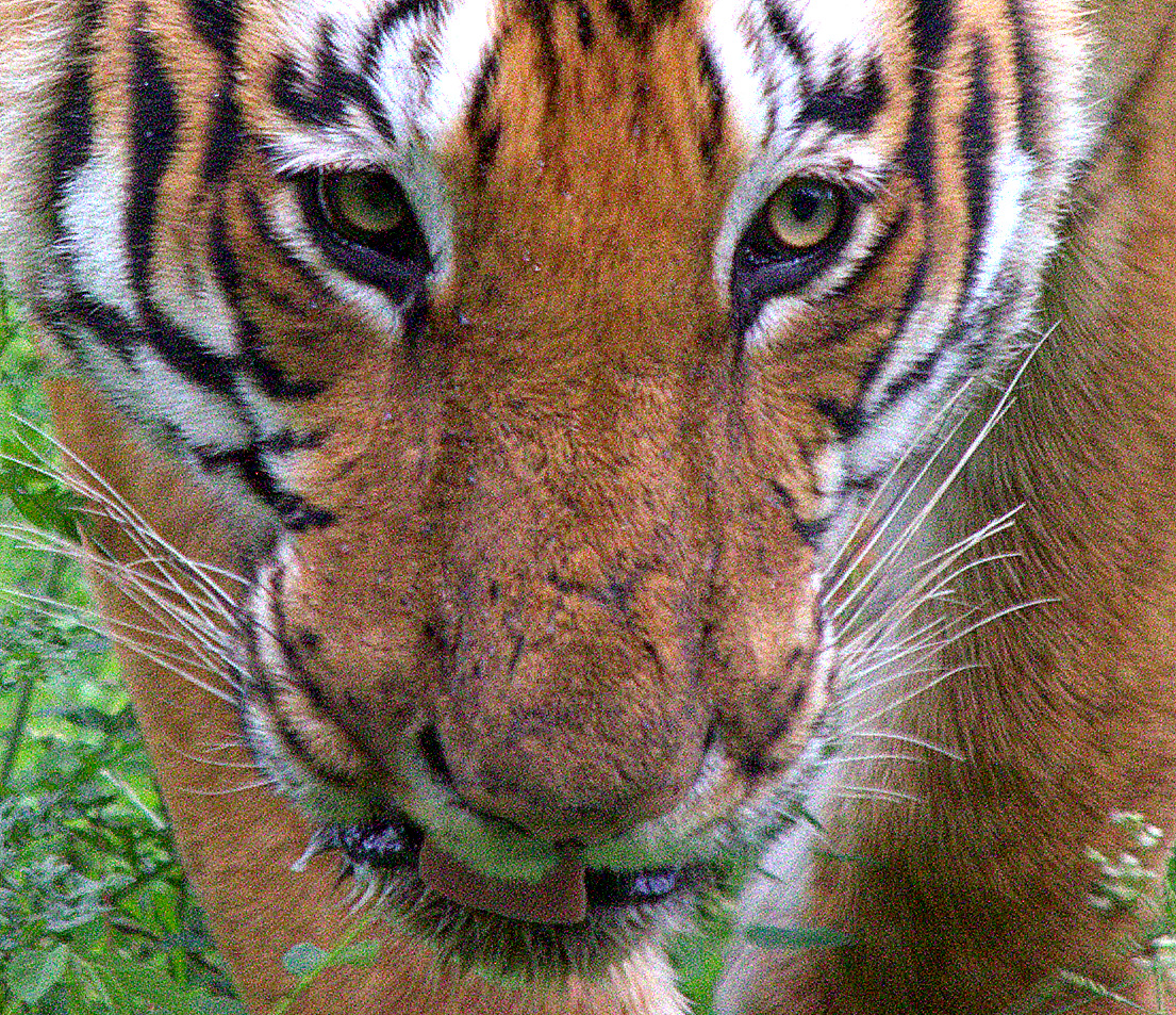 Portrait of Male Tiger Bandipur