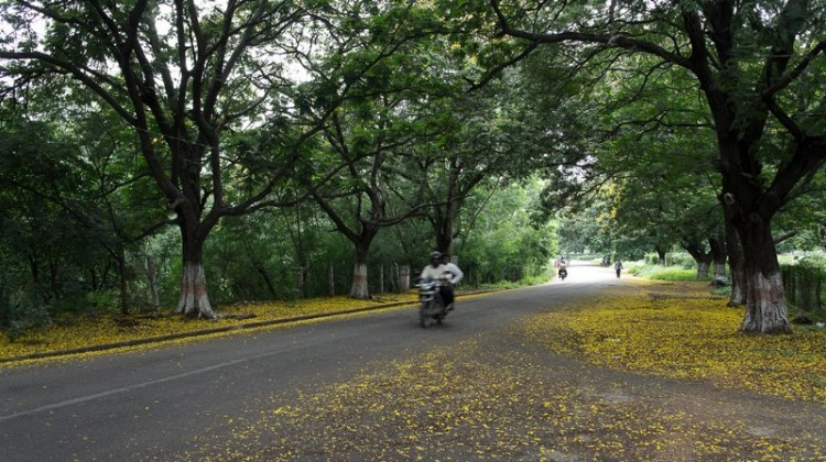 Osmania University- tree lined avenue