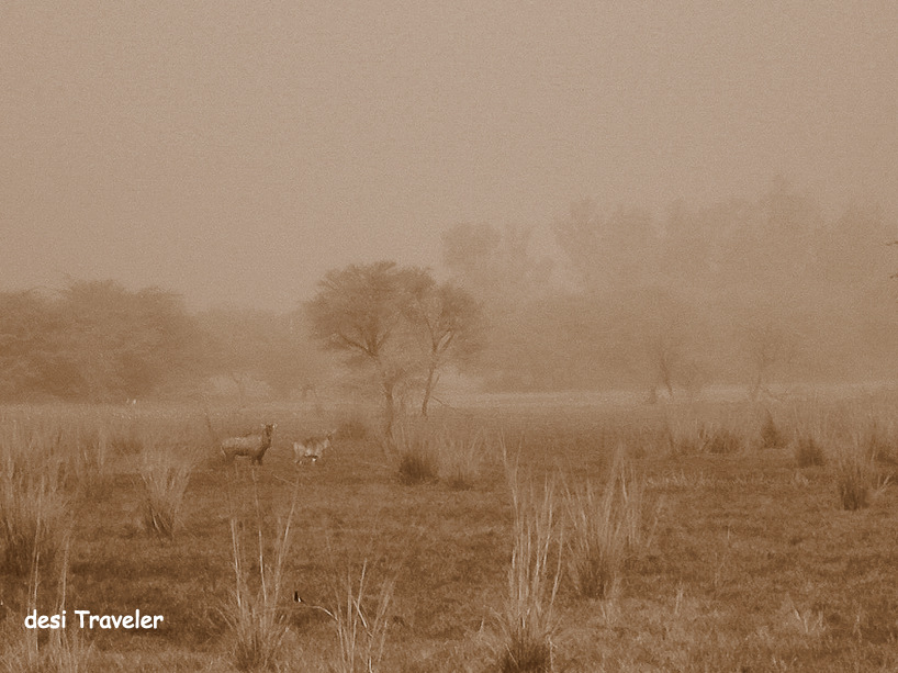 Nilgai pair in Sultanpur bird sanctuary