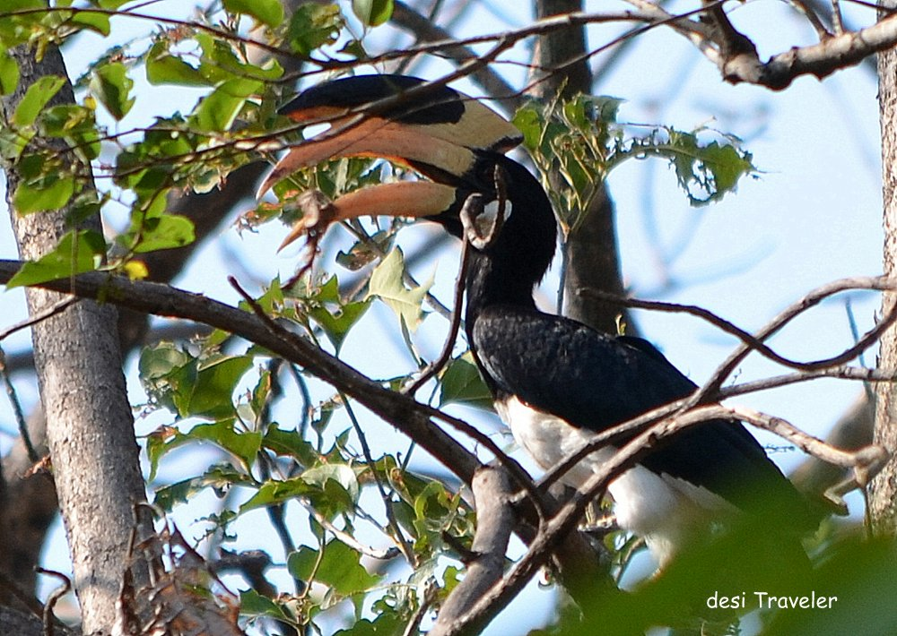 Malabar pied hornbill -Birds of Pench National Park