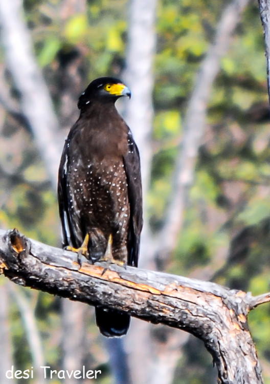 crested serpent eagle Spilornis cheela -Birds of Pench National Park