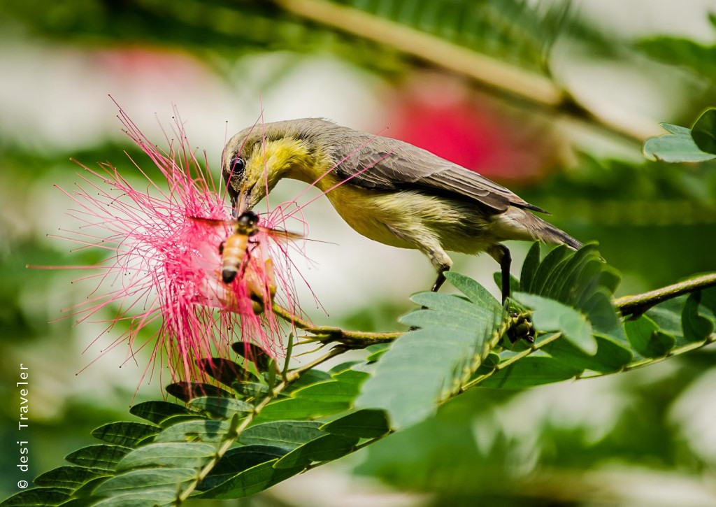 birds and bees purple sunbird honeybee on red calliandra flower