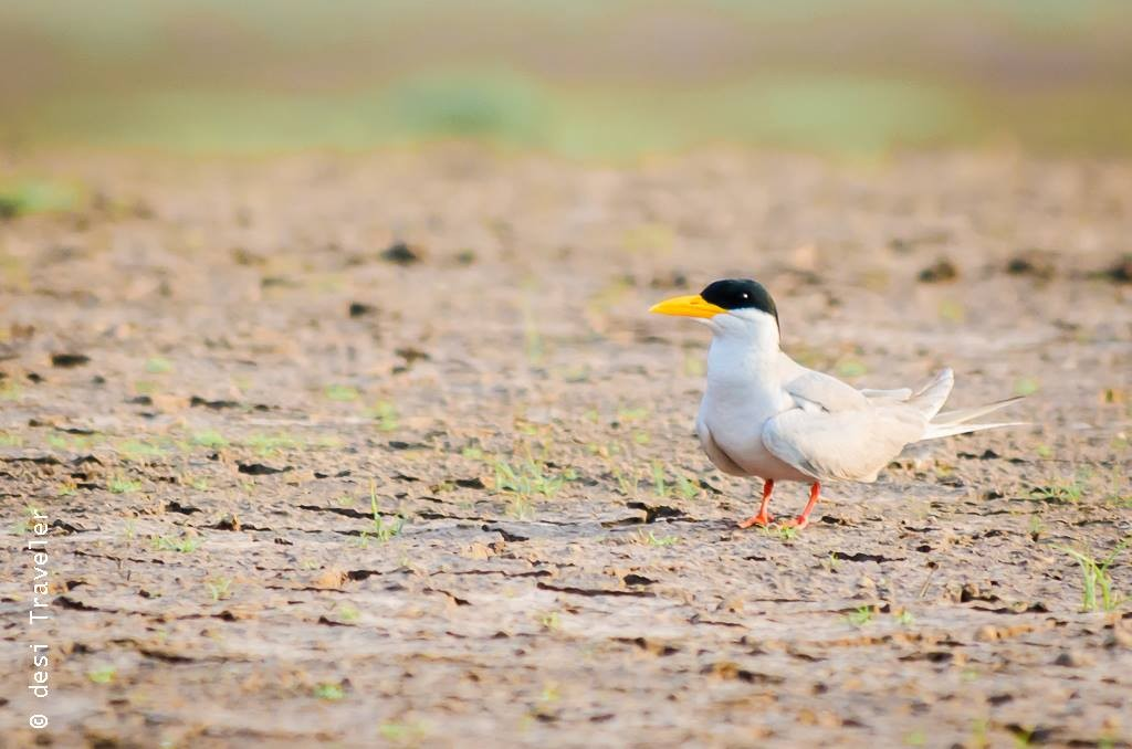 Satpura National Park Birding River Tern