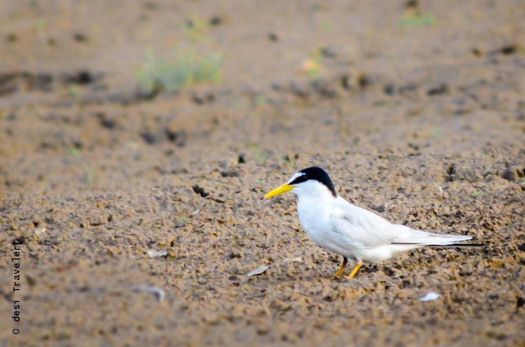 Satpura National Park Birdwatching Littel Tern