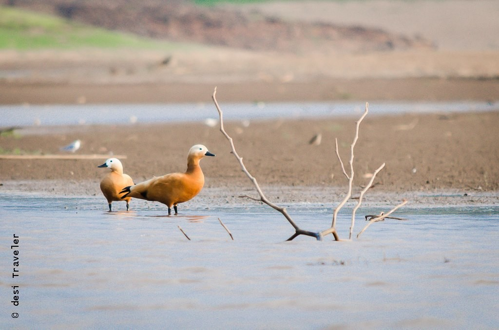 Satpura National Park birding Ruddy Shelduck)