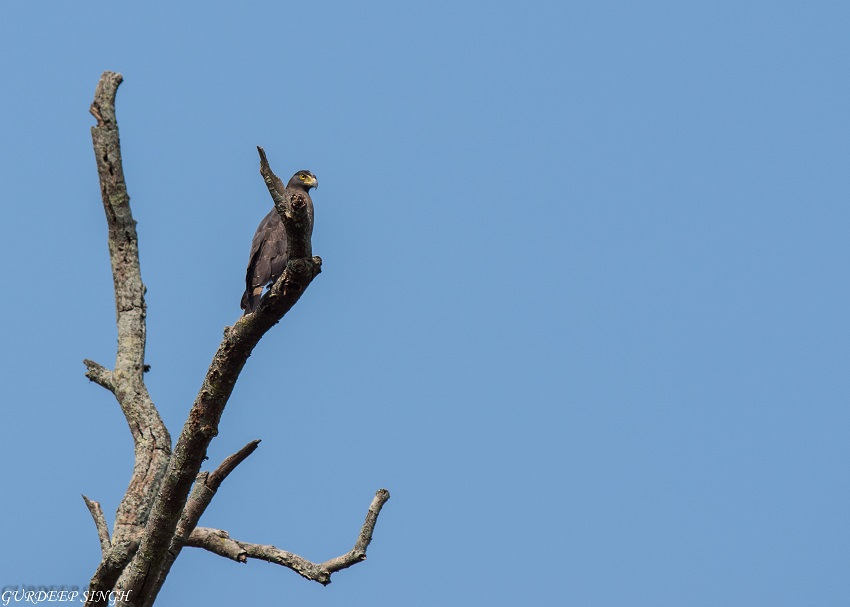 Crested Serpent Eagle Dudhwa National Park