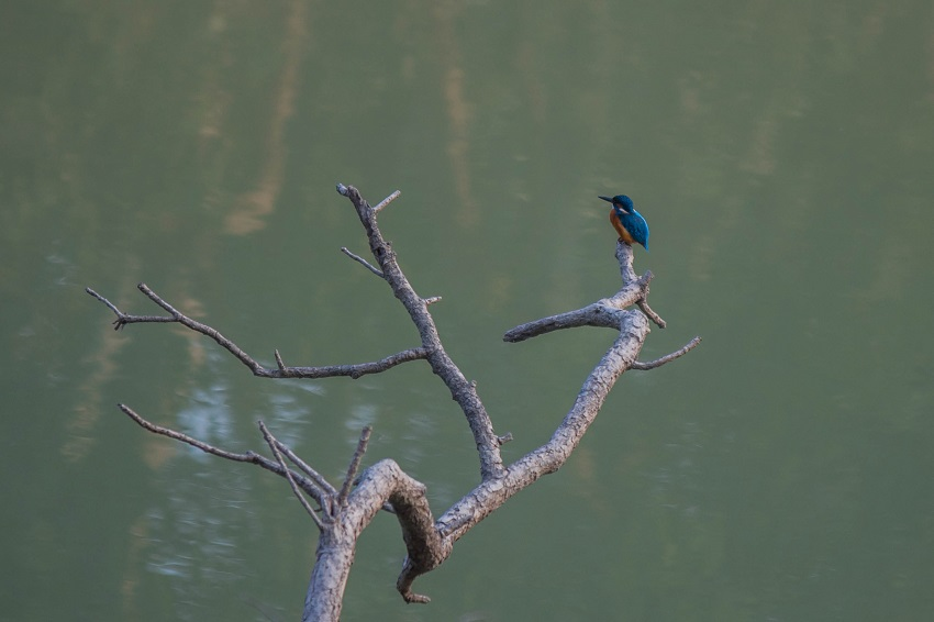 Common Indian Kingfisher