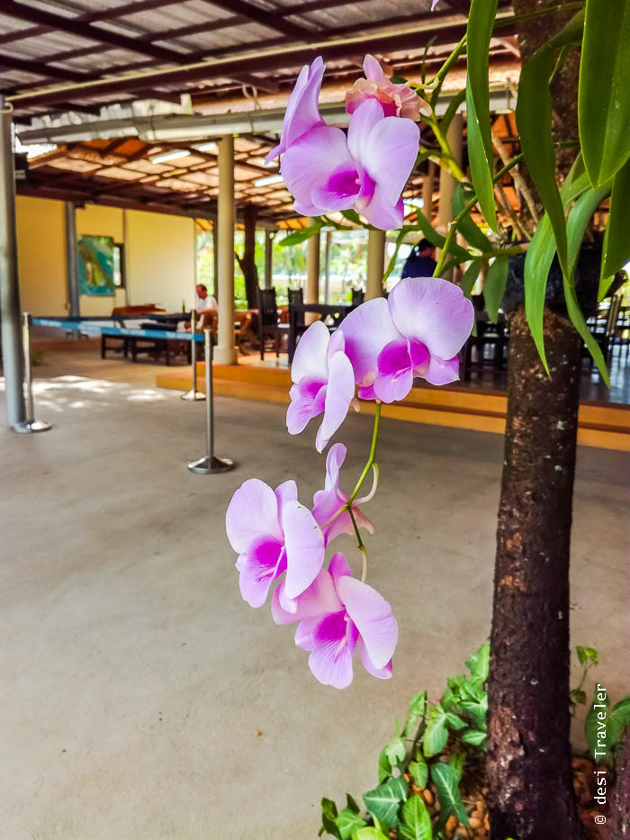 Orchid Blooming at Trat Airport