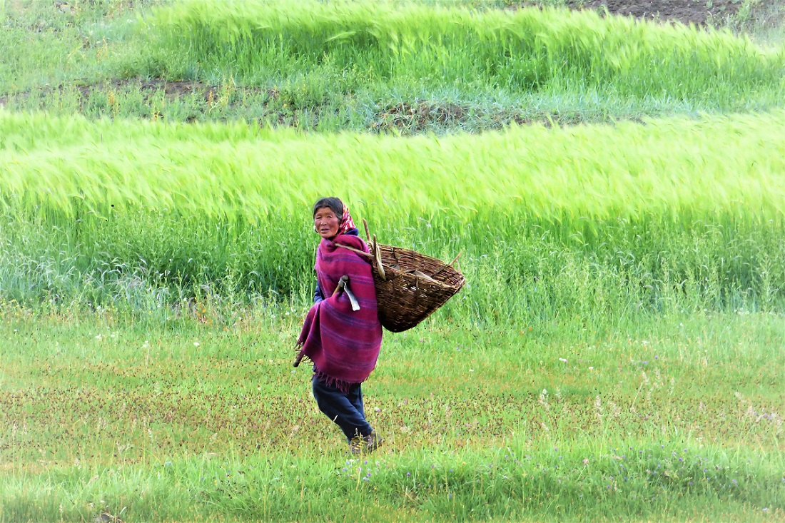 woman basket field Spiti India