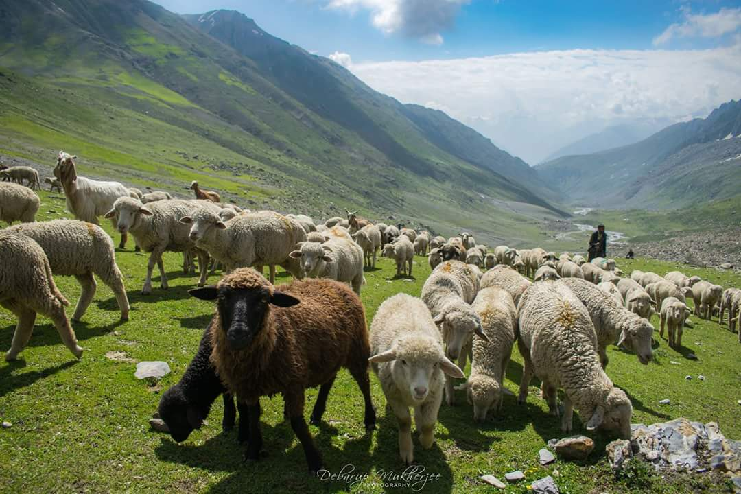 Sheep herd Kashmir