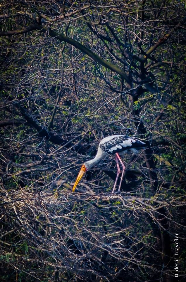 A Painted Stork nesting Sultanpur National Park
