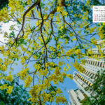 Free Download May 2019 desi Traveler Wallpaper Calendar – Amaltas Tree In Bloom