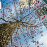 Free Download February 2020 Wallpaper Calendar – Bombax Ceiba Announcing Spring in the City