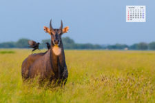 Free Download November 2020 Wallpaper Calendar - Nilgai in Tal Chapar