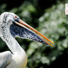 Free Download October 2019  Wallpaper Calendar – A Pelican In Singapore