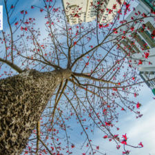 Free Download February 2020 Wallpaper Calendar - Bombax Ceiba Announcing Spring in the City
