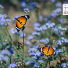 Free Download July 2019 desi Traveler Wallpaper Calendar – Plain Tiger Butterfly