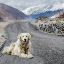 Free Download April 2020 Wallpaper Calendar - Man's Best Friend In Ladakh