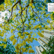 Free Download May 2019 desi Traveler Wallpaper Calendar - Amaltas Tree In Bloom