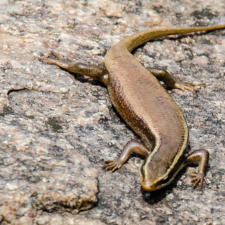 Skink: A Lizard from India