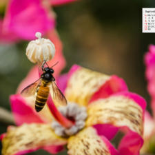 Free Download September 2019 Wallpaper Calendar - Honey Bee on Ceiba speciosa flower