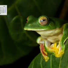 Free Download March 2021 Wallpaper Calendar - Malabar Gliding Frog